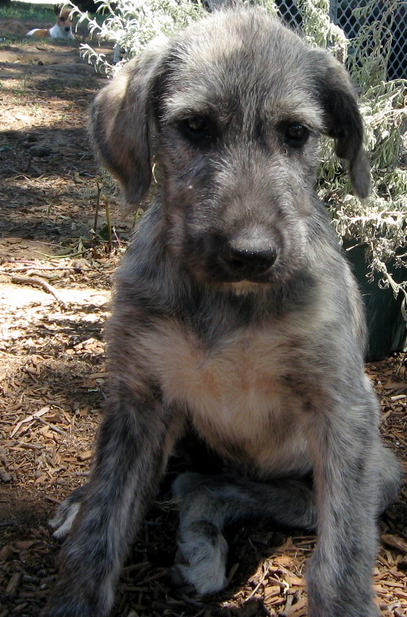 Grey Irish Wolfhound puppy image.PNG
