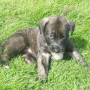 Irish Wolfhound pup dog photo.PNG