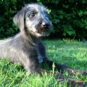 Irish Wolfhound pup photos.PNG