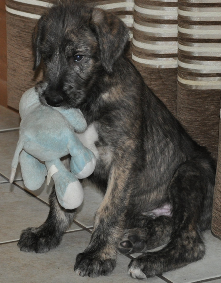 Irish Wolfhound pup_cute puppy pictures.PNG