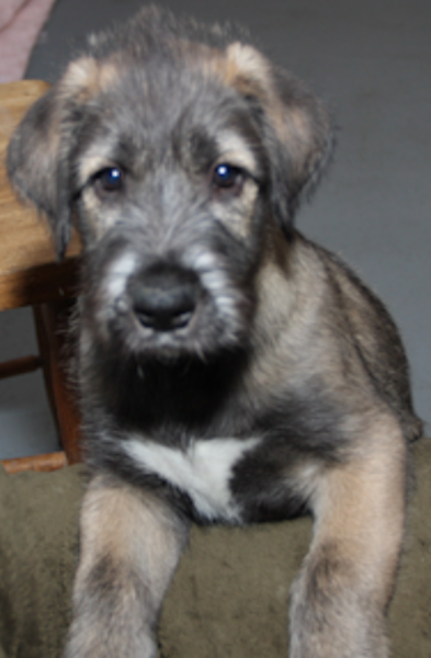 Irish Wolfhound puppy close up pictures.PNG