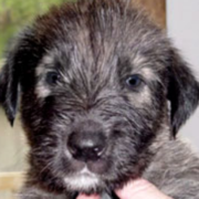 Irish Wolfhound puppy face pictures.PNG