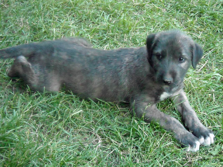 Irish Wolfhound puppy in black.PNG