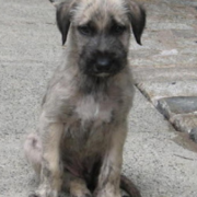 Irish Wolfhound puppy pictures.PNG