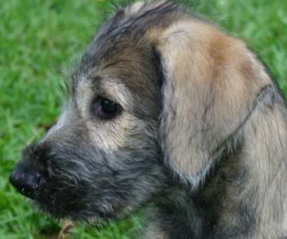 Irish Wolfhound puppy_dog face picture on the side.PNG