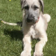 Light color Irish Wolfhound puppy laying on the grass.PNG