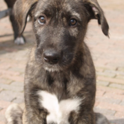 Beautiful dog pictures_Irish Wolfhound puppy.PNG