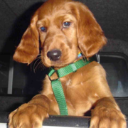 Cute dog photo of Irish Setter pup.PNG
