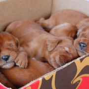 Cute puppies photo of Irish Setter breed.PNG