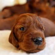 Cute puppy image of Irish Setter dog in tan.PNG