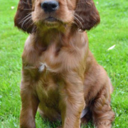 Cute puppy pictures of Irish Setter dog.PNG