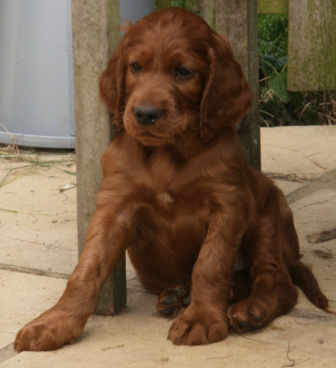 Dark tan Irish Setter Puppy picture.PNG