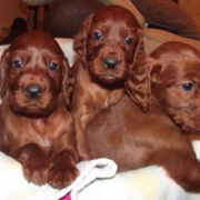 Irish Setter breeders pictures.PNG