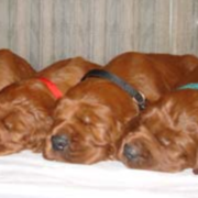 Irish Setter breeds picture.PNG