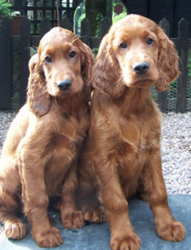 Irish Setter dogs picture.PNG