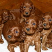 Irish setter puppies photo.PNG