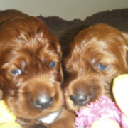 Irish Setter Puppies picture.PNG