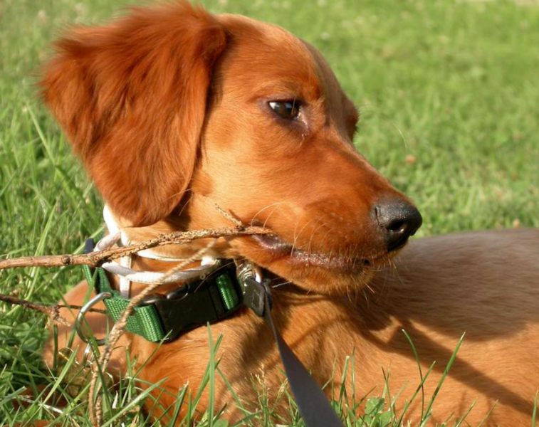 Irish Setter Puppy lies on the grass biting on a branch.PNG
