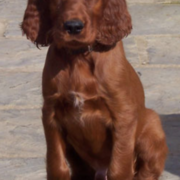 Irish Setter Puppy picture.PNG