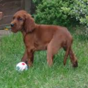Irish Setter Puppy playing ball on the grass.PNG