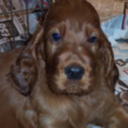 Irish Setter Puppy sad face picture.PNG
