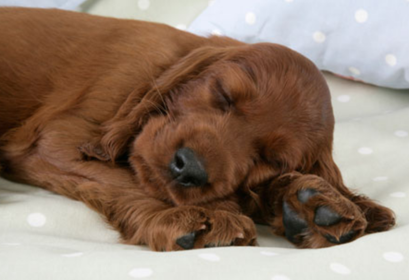 Irish Setter Puppy sleeping on the bed.PNG