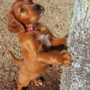 Irish Setter Puppy standing tall against the tree.PNG