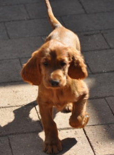 Irish Setter Puppy walking on the street.PNG