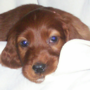 Irish Setter Puppy with blue eyes.PNG