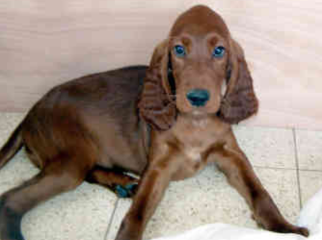 Mixed Irish Setter Pup picture.PNG