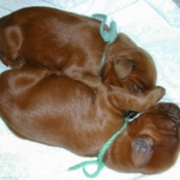 Newborn Irish Setter Puppies photo.PNG