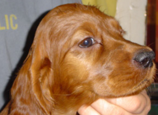 Puppy face picture of Irish Setter Pup.PNG