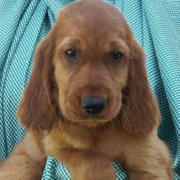 Tan Irish Setter Puppy with long ears.PNG