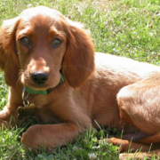 Tan mixed Irish Setter Puppy on the grass.PNG