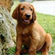 Tan young Irish Setter puppy standing on the grass next to a tree.PNG