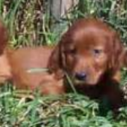Three young Irish setter puppies lying on the grass.PNG