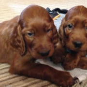 Two Irish Setter Puppies image.PNG