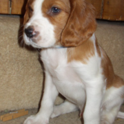 White and tan Irish Setter Puppy photo.PNG
