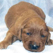 Young Irish Setter Pup photo.PNG