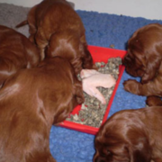 Young Irish Setter Puppies eating.PNG