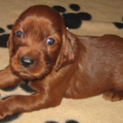 Young Irish Setter Puppy image.PNG