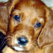 Close up picture of Irish setter puppy in tan.PNG