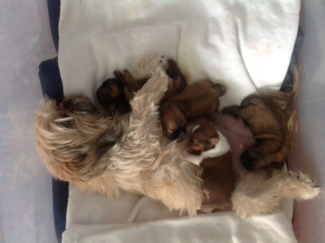 Cute picture of Shih Tzu mama dog taking care of puppies.JPG