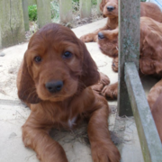 Tan with long ears Irish setter dogs picture.PNG