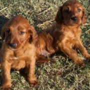 Two Irish setter pups playing on the grass.PNG
