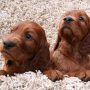 Cute puppy photo shot pictures of two Irish setter puppies.PNG
