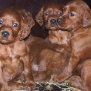 Dog group picture of Irish setter puppies.PNG