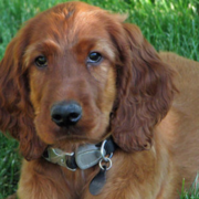 Image of Irish Setter pup lieing on the grass chilling out with the most calmly face.PNG