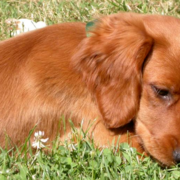Irish setter dog with long ears playing on the grass.PNG