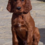 Picture of young Irish setter dog picgture.PNG